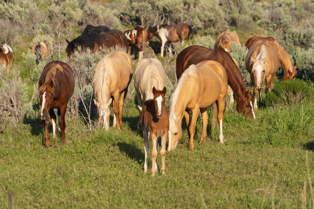 The Kiger Mustang Viewing Area is an incredible attraction to see near The Narrows RV Park.