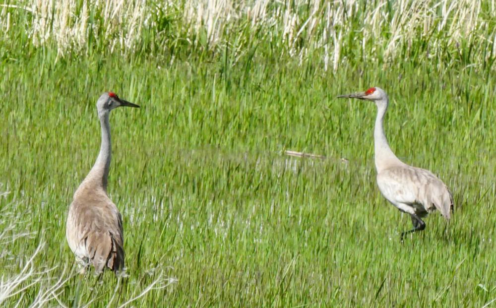 A pair of cranes in Malheur National Wildlife Refuge