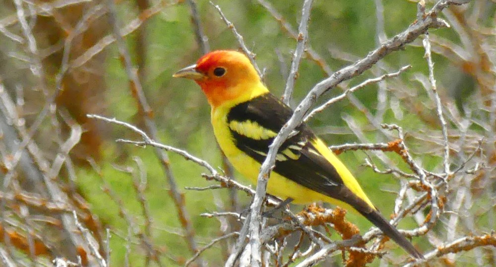 The vibrant Western Tanager can be found all over the grounds of Narrows RV Park